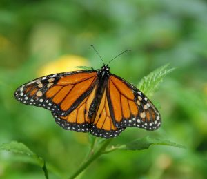 The first monarch's butterflies reach Mexico in winter
