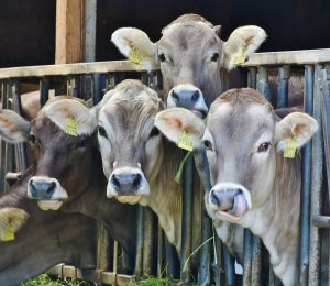 New research has seen practices in keeping medication on milk farmers in the UK