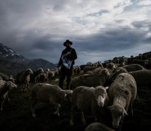 At wolves, the alpine shepherd can not imagine any other life