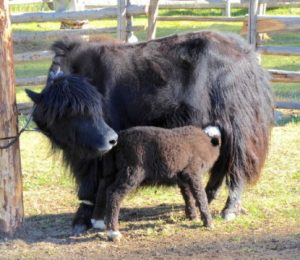 B. Year Cattle, sheep and goats founded in 1300 years in northern Mongolia