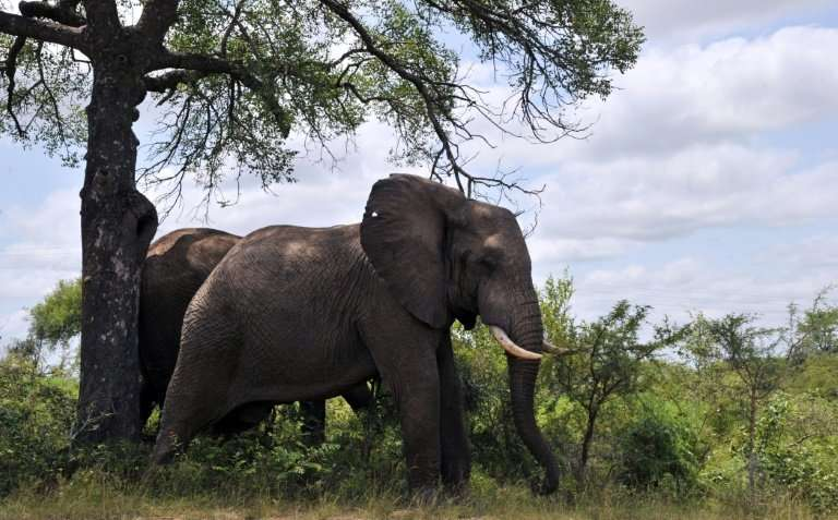 African elephants, earth's largest land animals, sometimes live in their seventies. They are known for social animals, Liv