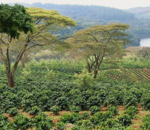 Commercial coffee farmers will leave Zimbabwe – Zimbabwe Mail
