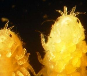 Tiny Sea Crustaceans can help with wood-resistant Biofuel