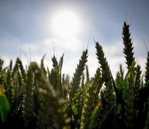 Lithuania declares emergency situation as drought farmers
