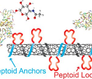 Electrostatic assemblies of single-step carbon nanotubes and sequentially tailored peptide polymers fix lectin protein and its target sugars.