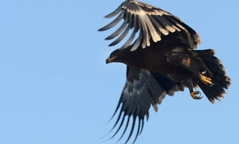 Steppe eagles are experiencing rapid decline due to their spread throughout farmland and are vulnerable to wind turbines
