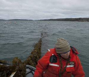 Can seaweed as a cow feed help the climate?
