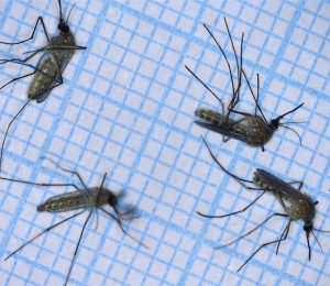 Lidar observes the behavior of mosquitoes catching wings – the world of physics